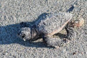 un piccolo di tartaruga caretta caretta